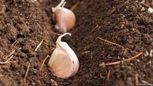 Как посадить чеснок в зиму правильно