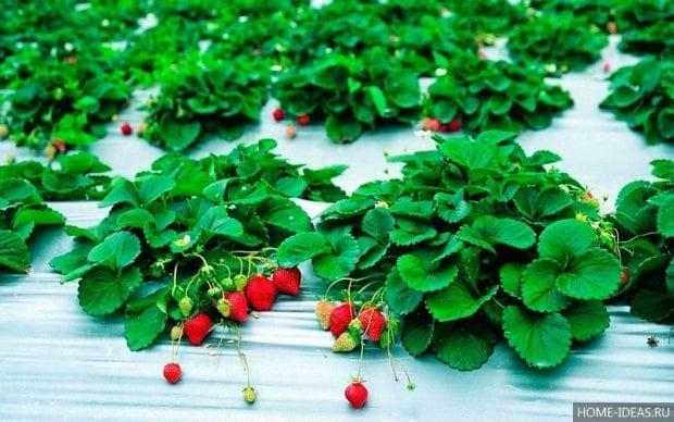 Как сажать клубнику семенами в домашних условиях?