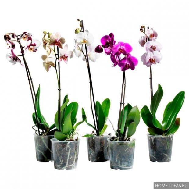 Как вырастить орхидею из семян в домашних условиях?