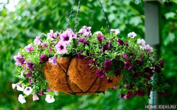 Как вырастить петунию из семян в домашних условиях?