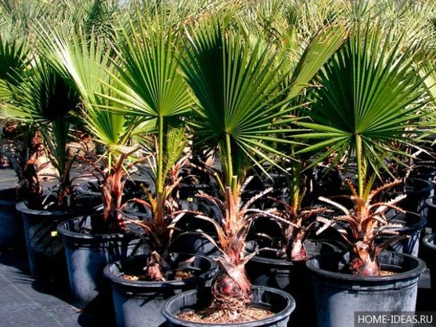 Комнатные пальмы: фото и название